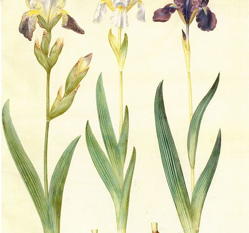 Iris Germanica aus dem Gottdorfer Codex