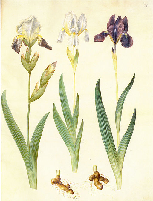 iris germanica aus dem Gottorfer Codex