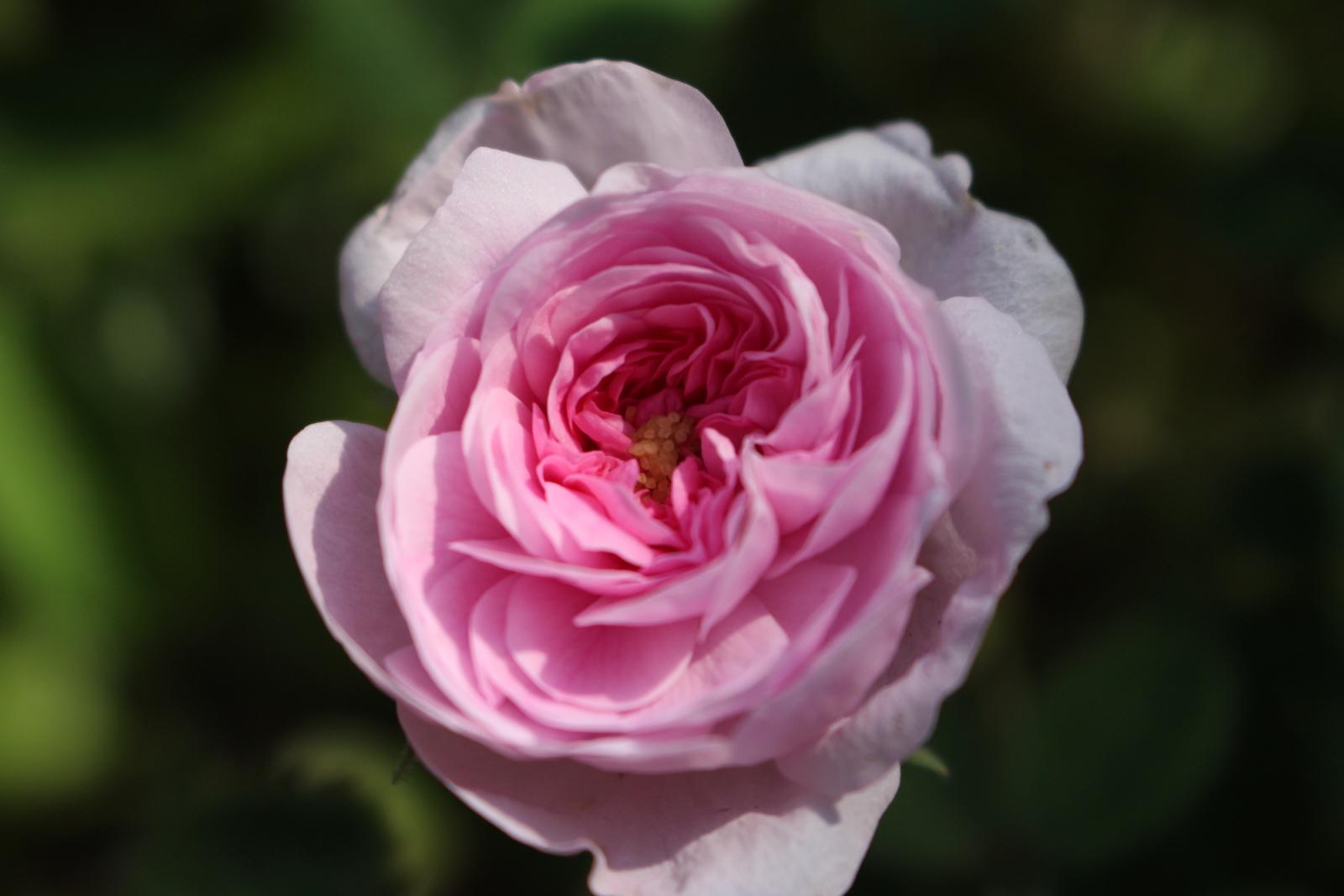 R. de meaux Blüte