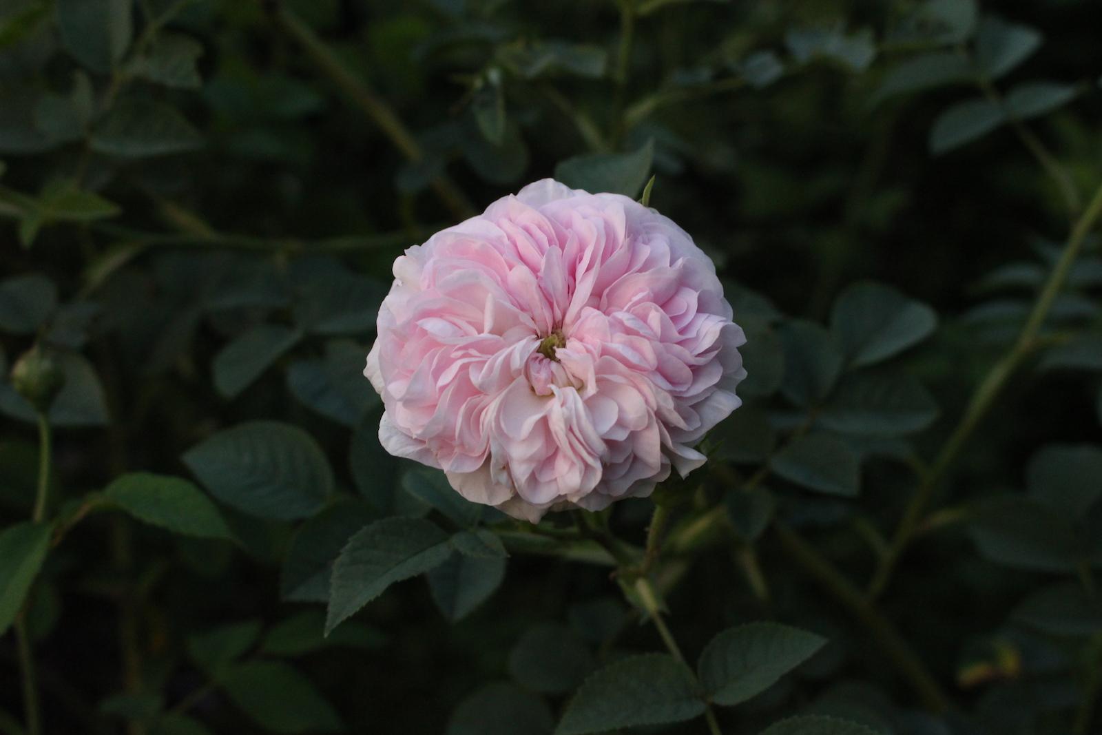 R. de meaux white mel. Blüte
