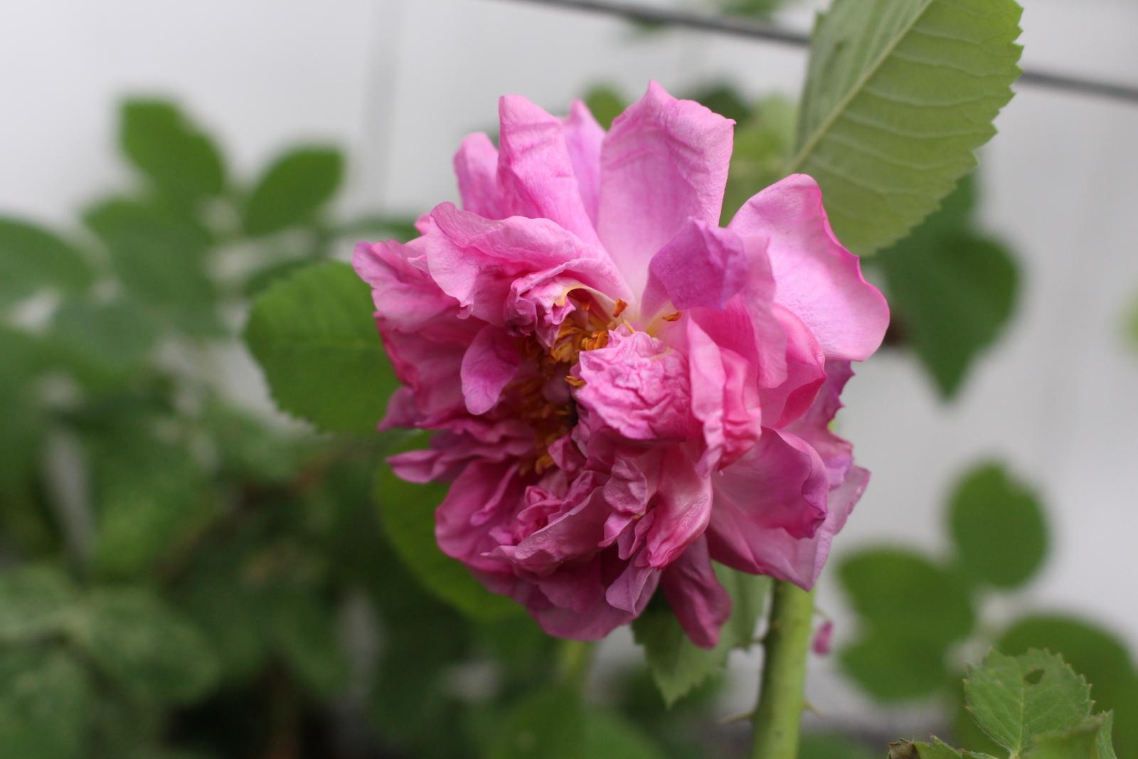 R. frankofurtana Klein Schneen.Blüte