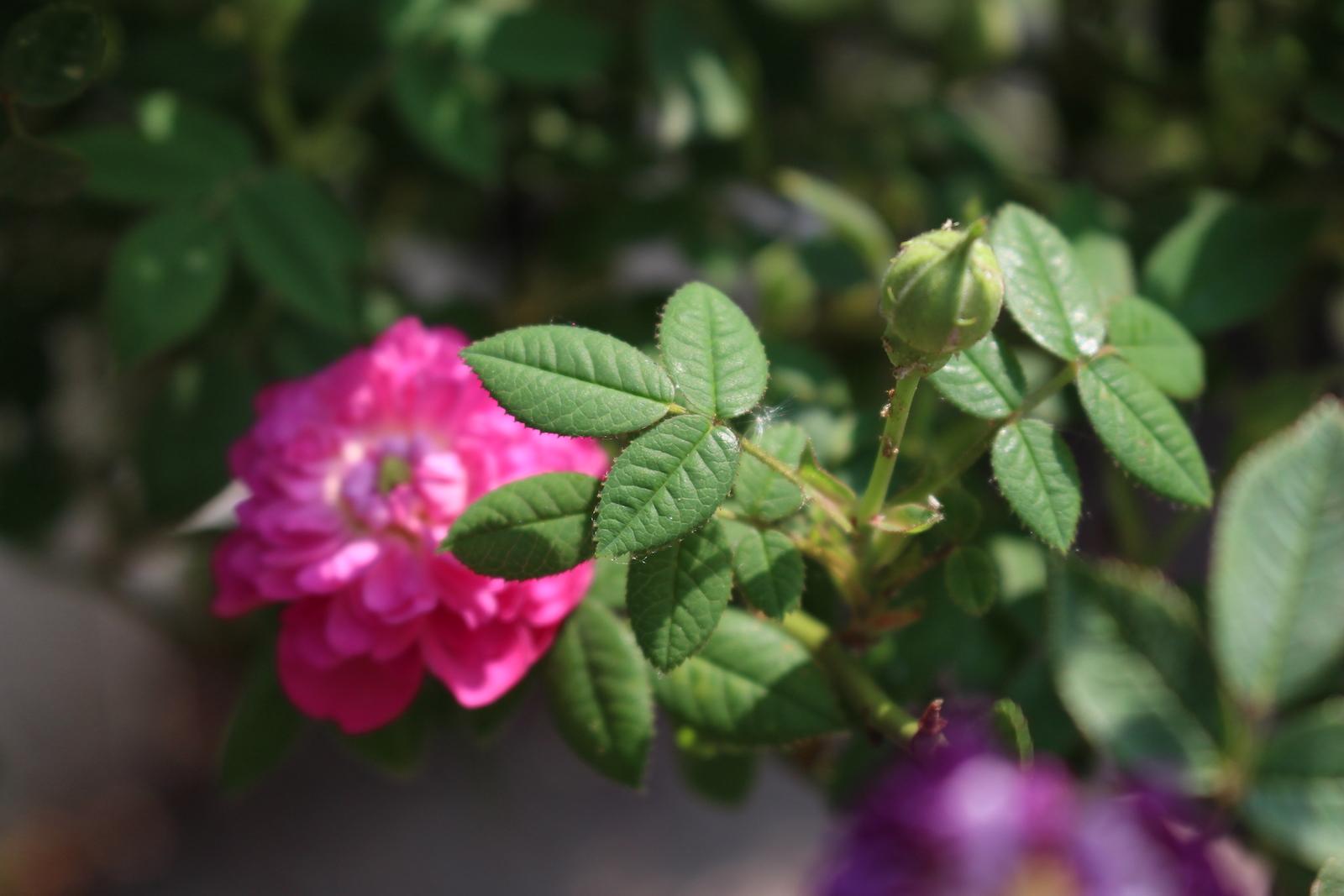 R. parvifolia laub