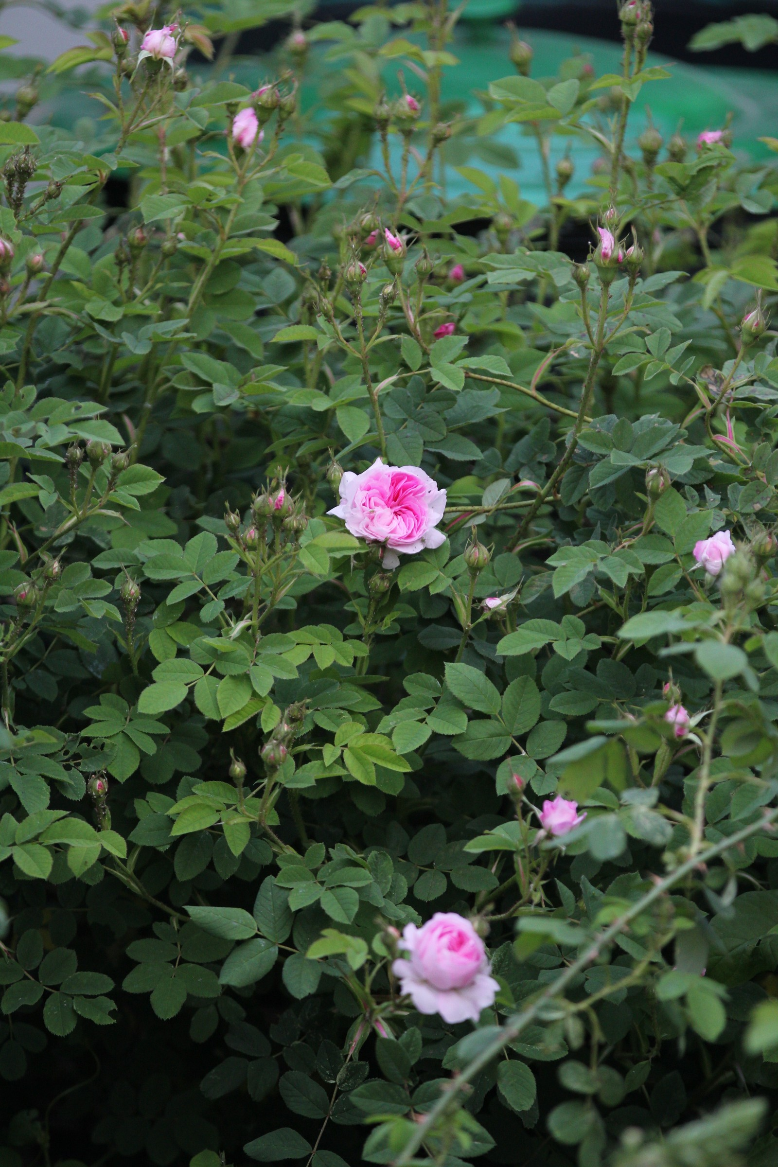Rosa x alba Blush Hip