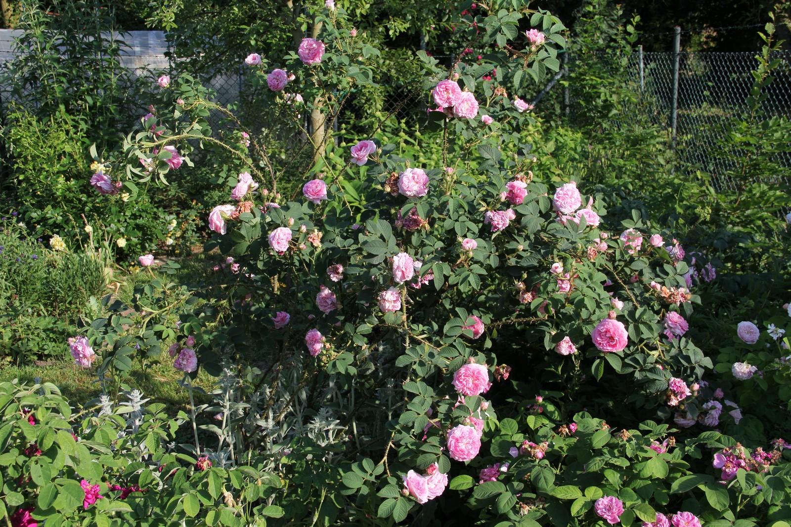 Rosa x alba Königin von Dänemark