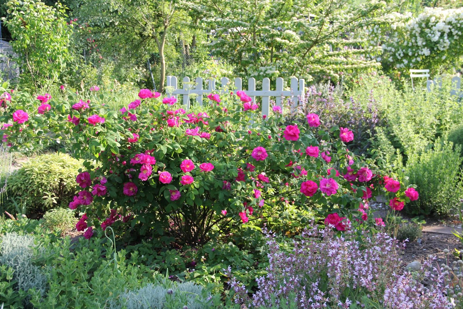 Rosa x gallica var. officinalis
