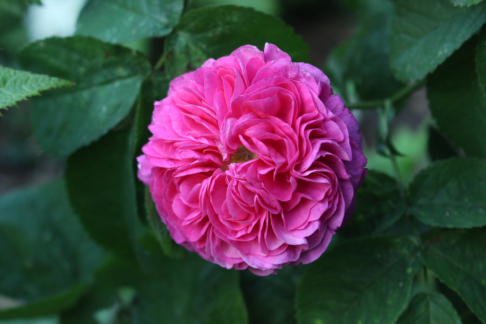 Rose Hector blüte