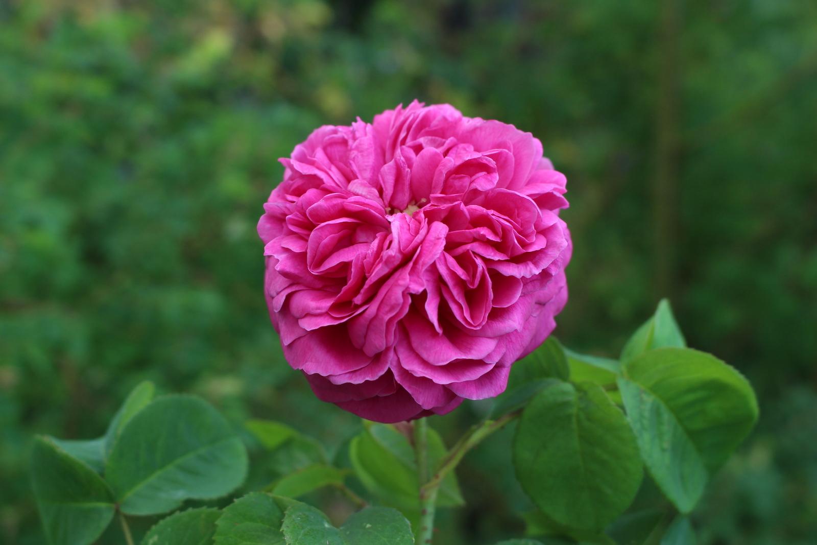 Unbekannte Bourbon Blüte