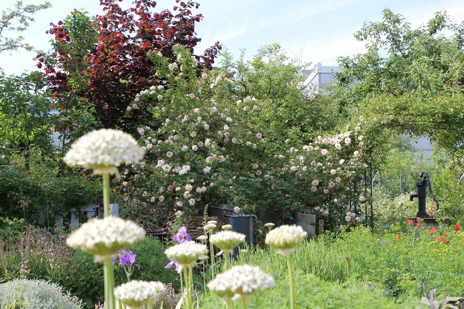Rose Frühlingsduft