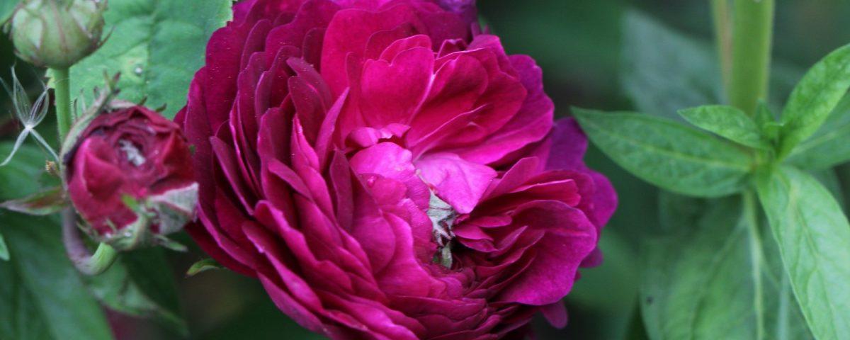 Rosa gallica Hippolyte