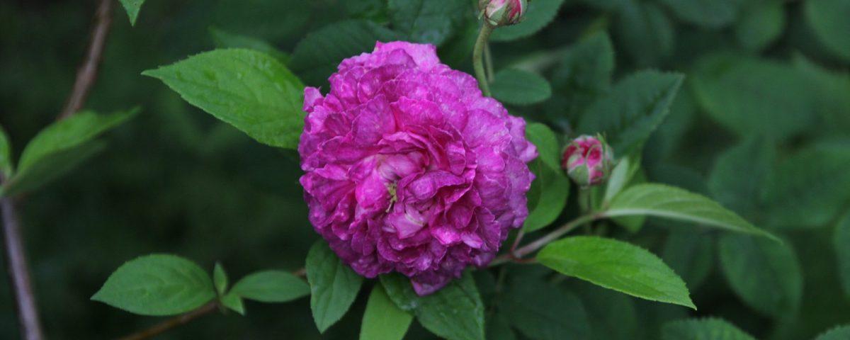Rosa gallica Nestor