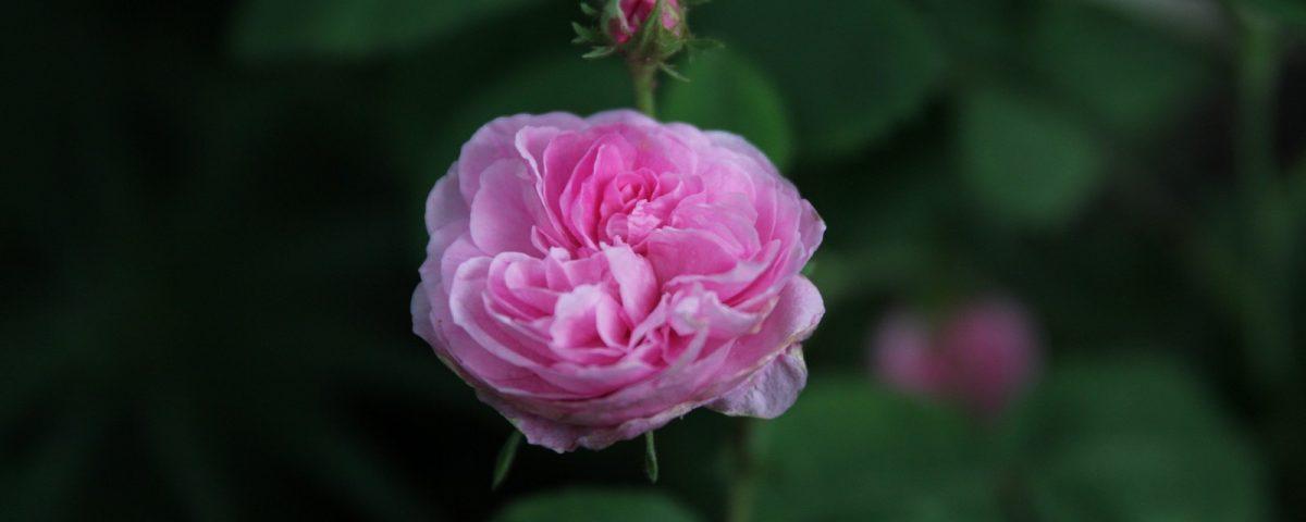 Rosa x centifolia Petite de Hollande