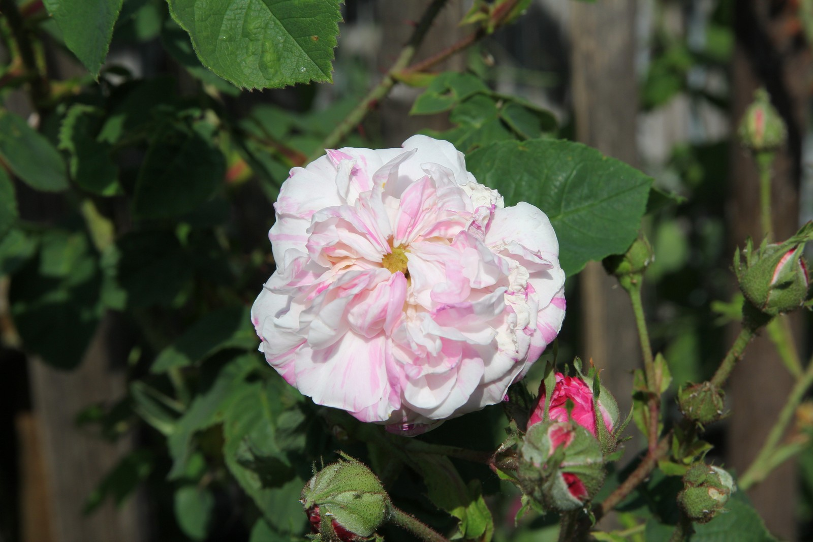 Rosa x centifolia variegata