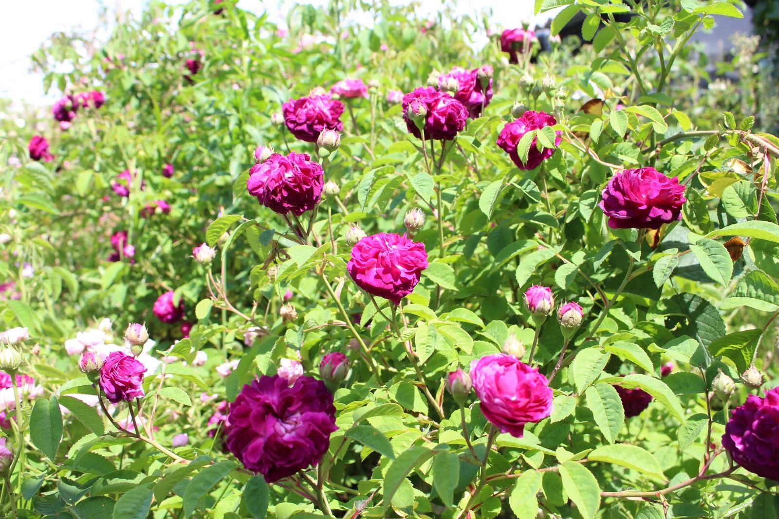 Rosa gallica 'Hippolyte' Strauch
