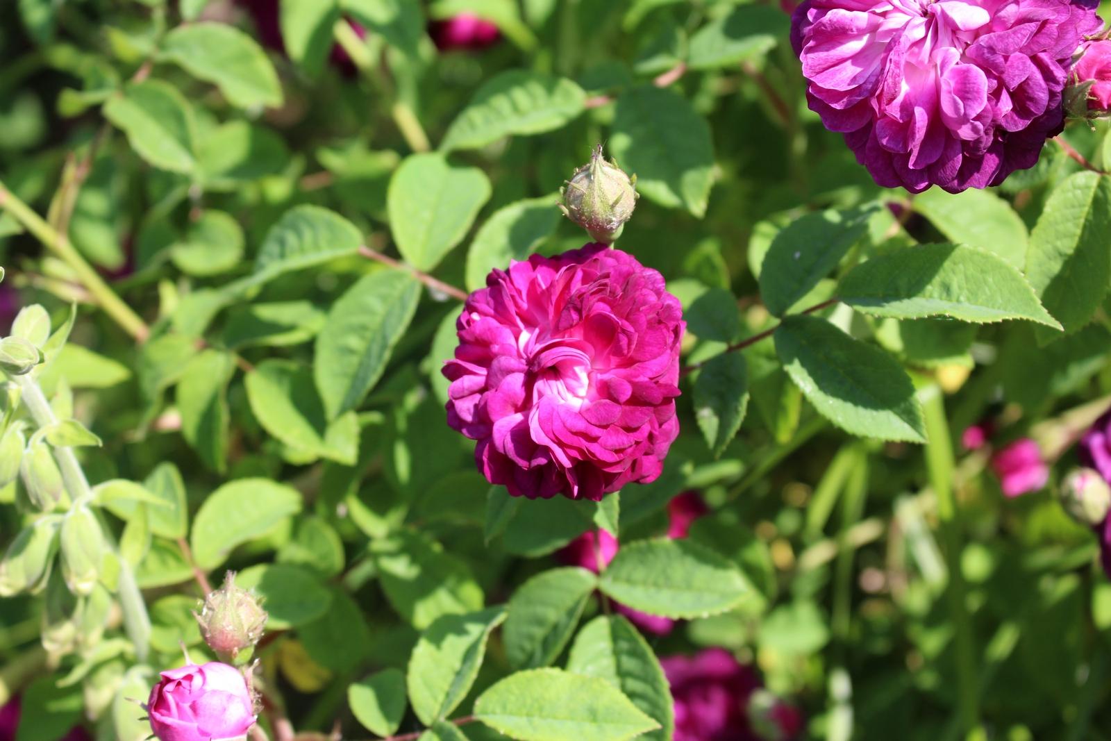 Rosa gallica 'Hippolyte', Knospe