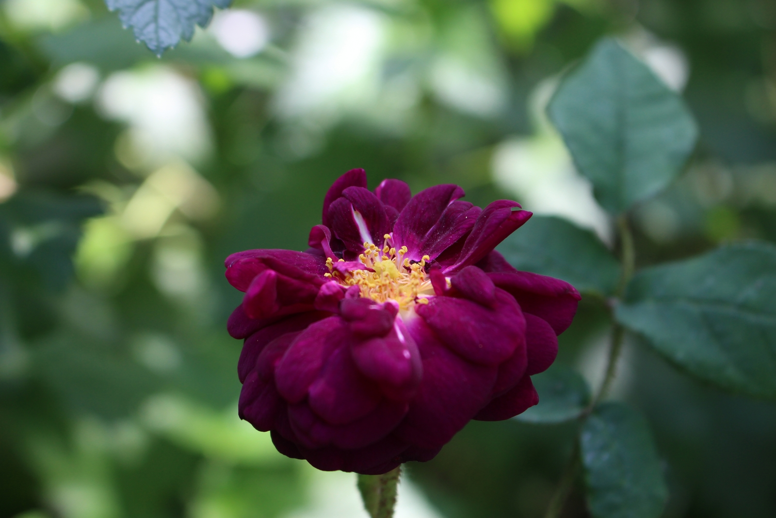 Rosa muscosa William Grow Blüte