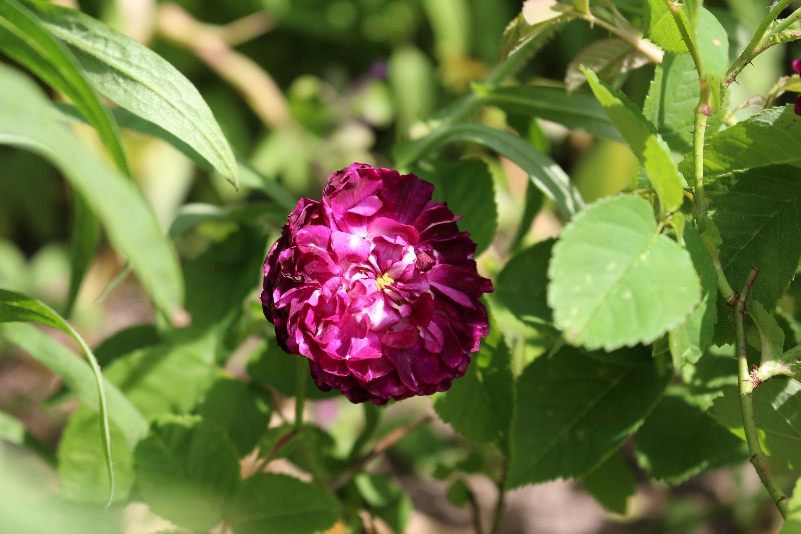 La Negresse Blüte