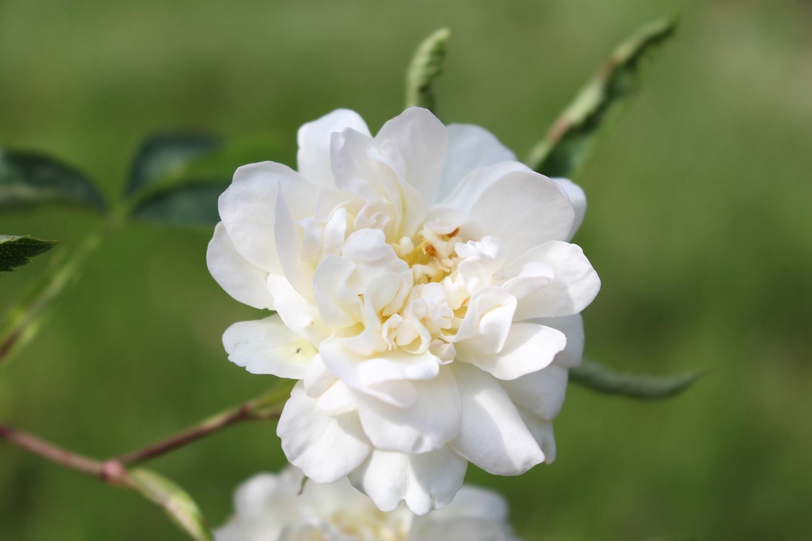 R. cannabifolia Blüte