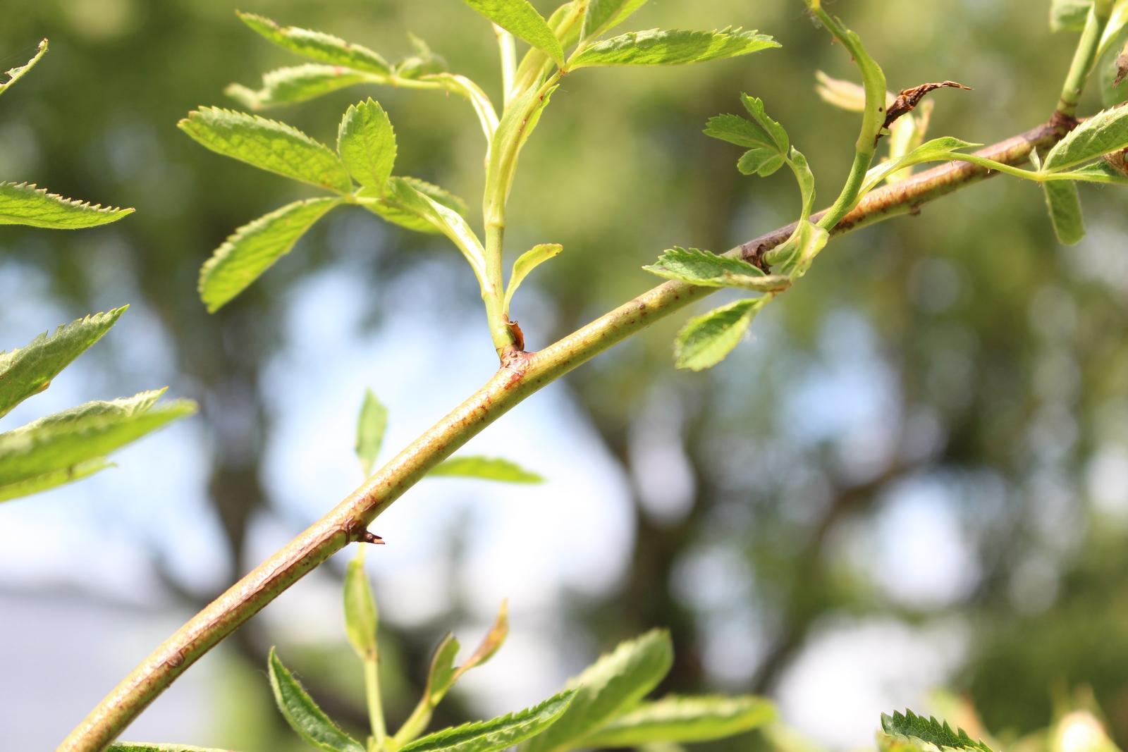 R. cannabifolia Holz