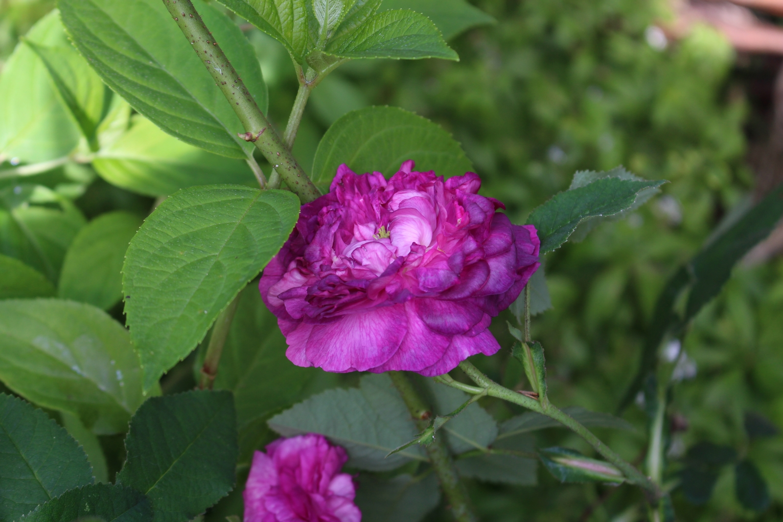 Rosa gallica 'Nestor' Blüte
