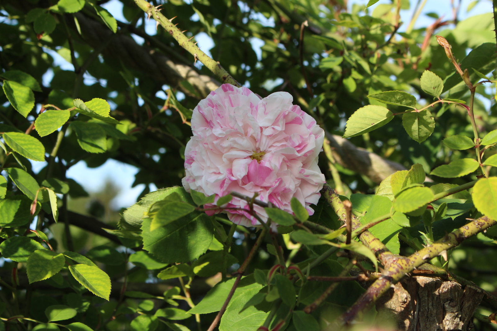 rosa cent. variegata blüte