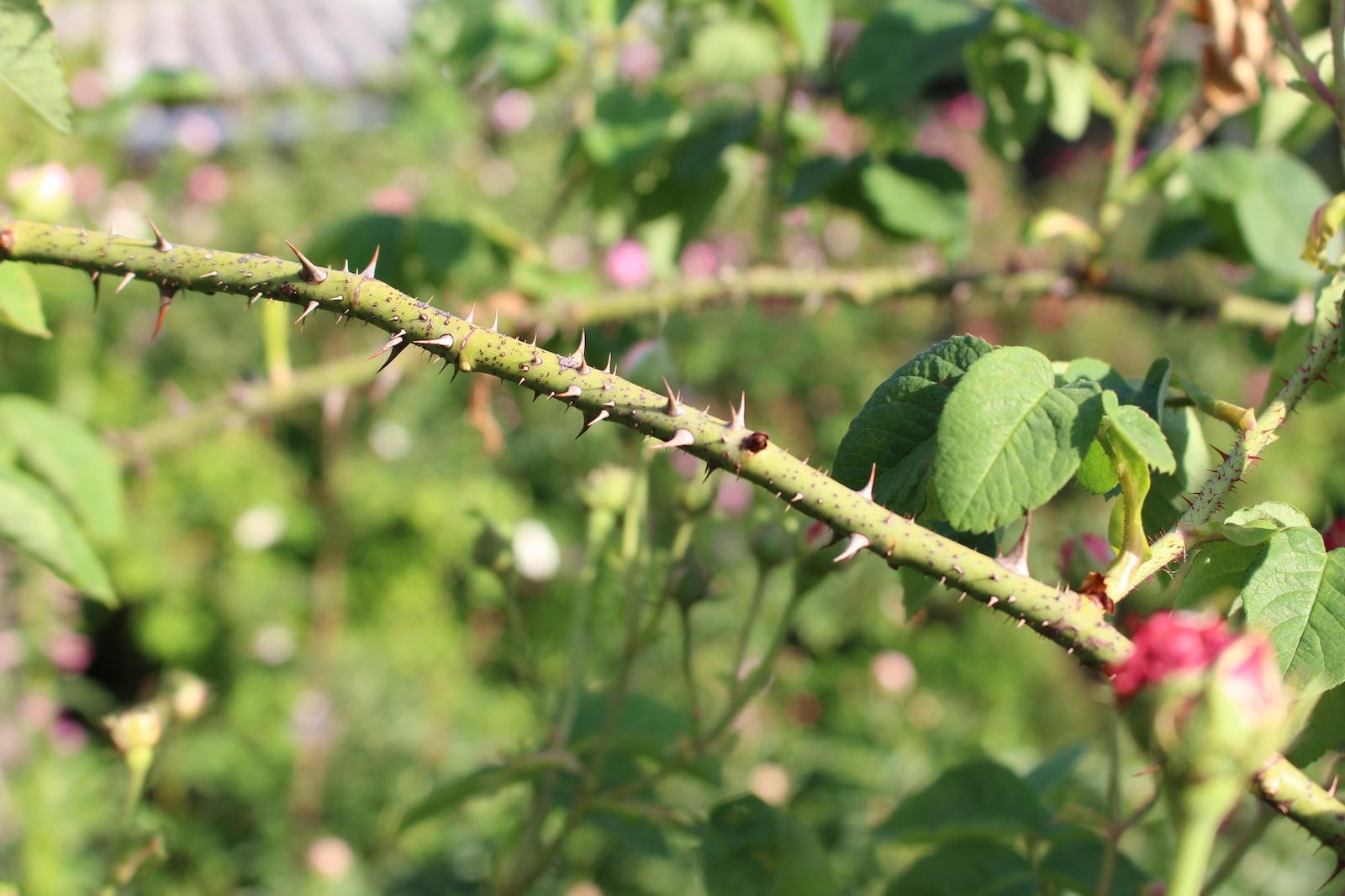 rosa cent. variegata holz