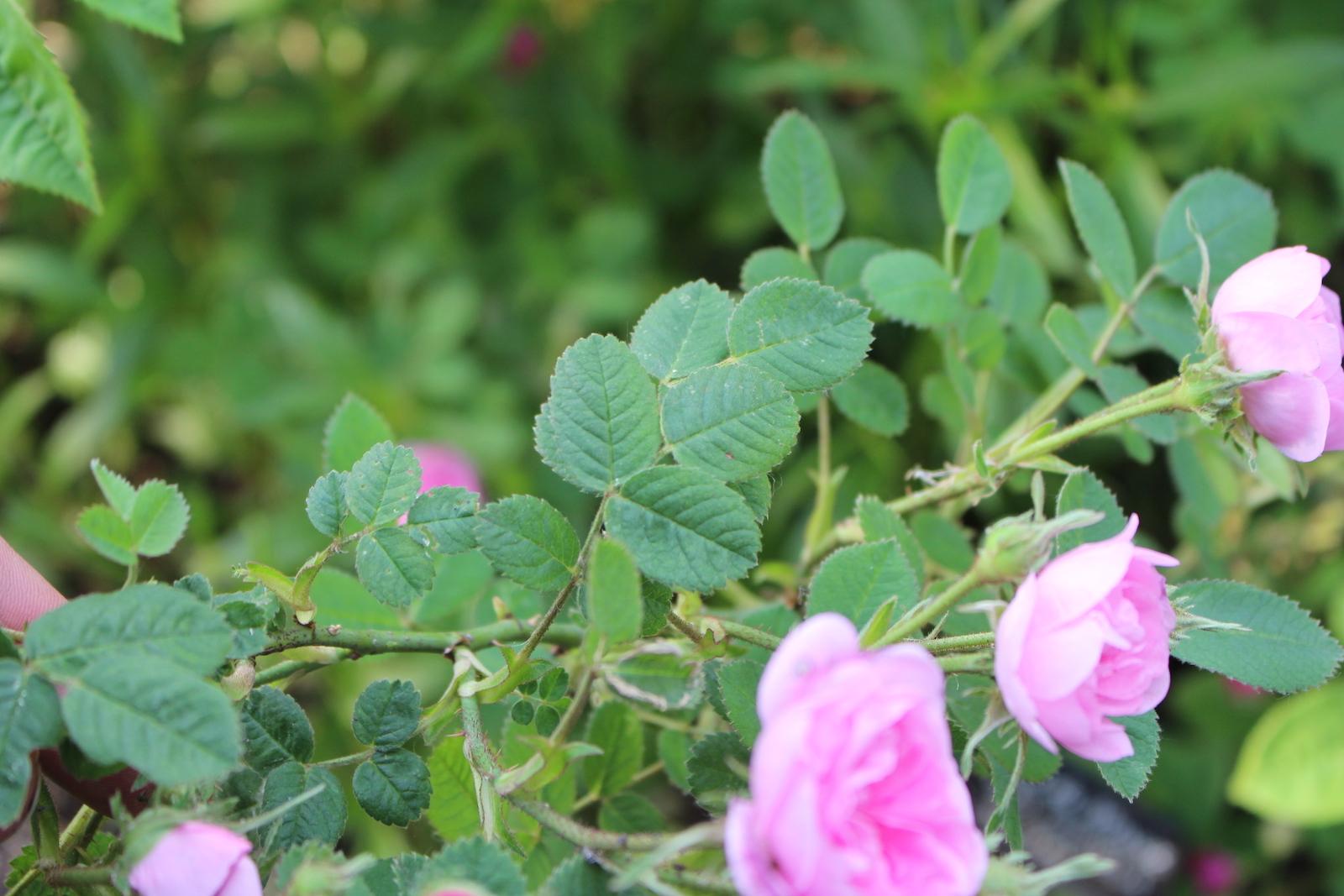 rose de meaux laub