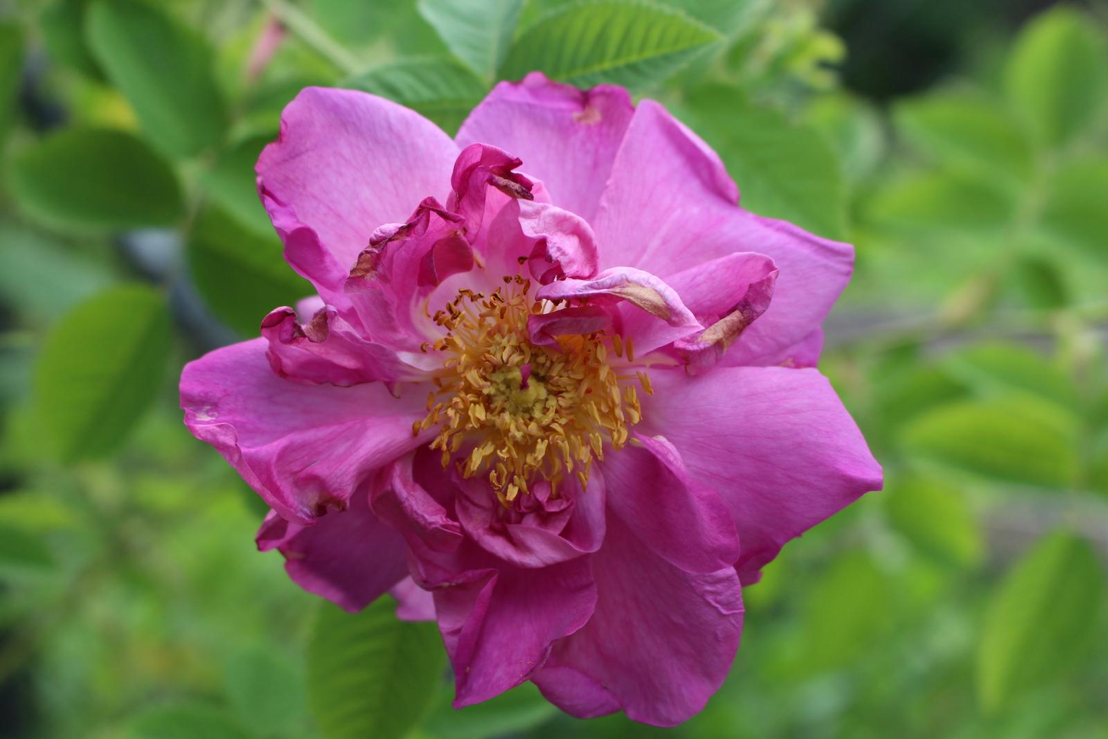 Rosa francofurtana 'Allendorf' Blüte